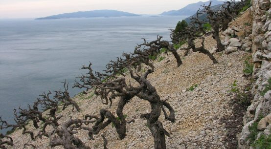 Vineyard on Pelješac - Reproduced with permission from Wines of Balkans